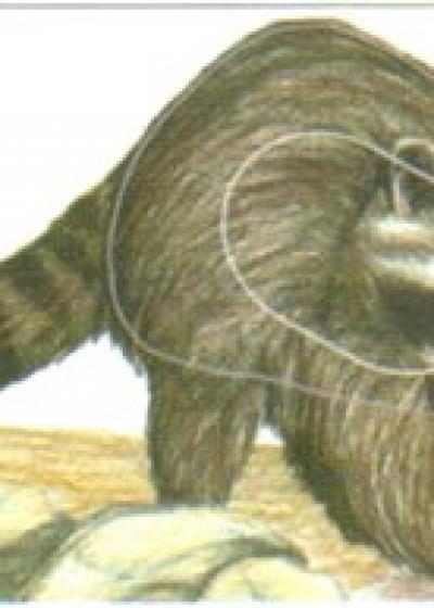 Raccoon, Group 3